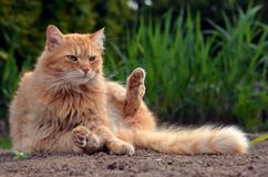 Ładny imbirowy kot siedzi w naturze Obrazy Royalty Free