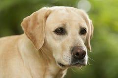 Ładny labradora pies Obrazy Royalty Free