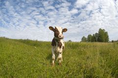 Ładny mały byk Fotografia Stock