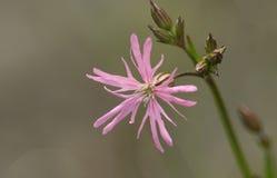 Ładny Obdarty rudzika kwiat Lychnis Flos-Cuculi zdjęcie royalty free