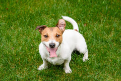 Ładny pies z szczęśliwej twarzy wyrażeniową patrzeje kamerą Zdjęcie Stock