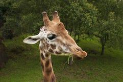 Ładny portret żyrafy łasowania trawa Zdjęcie Royalty Free