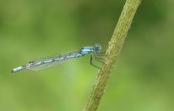 Ładny Pospolity Błękitny Damselfly Enallagma cyathigerum umieszczał na trzonie roślina Obraz Stock