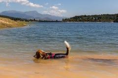 Ładny psi †‹â€ ‹Beagle traken, pływa w jeziorze zdjęcia stock