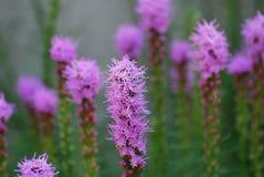 Ładny Purpurowy Liatris Kwitnie w kwiacie zdjęcie royalty free