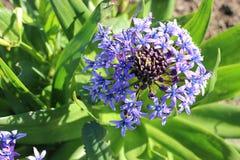 Ładny purpurowy wildflower z zielonymi liśćmi, Kalifornia Obrazy Stock