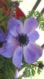 Ładny purpury okwitnięcie Fotografia Royalty Free