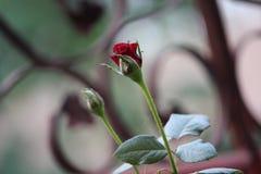 Ładny różany zbliżenie krótkopęd Fotografia Royalty Free