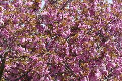 Ładny różowy czereśniowy okwitnięcie obraz stock