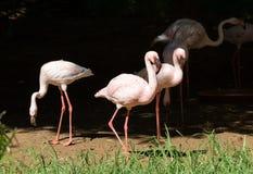 Ładny różowy duży ptasi Wielki flaming Obraz Stock
