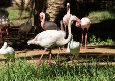 Ładny różowy duży ptasi Wielki flaming Obrazy Royalty Free