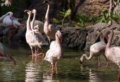 Ładny różowy duży ptasi Wielki flaming Fotografia Royalty Free