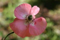 Ładny różowy maczek na defocused zielonym tle Obrazy Stock