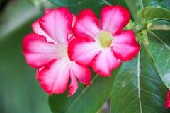 Ładny różowy Plumeria kwiat, Kwitnie Pięknego Fotografia Stock