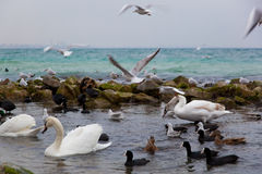 Ładny skąpanie dla dennych ptaków zbliża Czarnego morze Fotografia Royalty Free