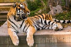 Ładny tygrysi Panthera Tigris odpoczywa na cemencie przy zmierzchem obraz stock