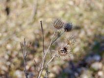 Ładny widok niektóre spiky wysuszony oset kwitnie fotografia stock