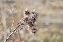 Ładny widok niektóre spiky wysuszony oset kwitnie obrazy stock