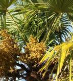 Ładunki ziarna na Chińskiej wiatraczek palmie Obrazy Royalty Free