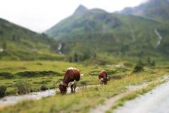 Łagodzi krawędź widok Alpejskie krowy w zielonej trawie Zdjęcia Stock