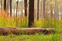 Łamana sosna w lesie zdjęcia royalty free