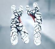 Łamani lub dezerterujący biali barwioni chromosomy x i y ilustracji