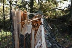 Łamany świerkowy drzewo podczas burzy i trąby powietrznej Zdjęcia Stock