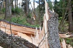 Łamany świerkowy drzewo podczas burzy i trąby powietrznej Obrazy Royalty Free