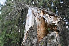 Łamany świerkowy drzewo w lesie Zdjęcia Stock