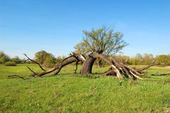 łamany błyskawicowy drzewo Zdjęcie Stock