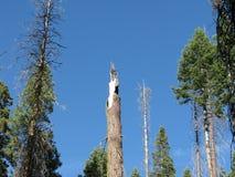 Łamany drzewo wierzchołek Zdjęcie Royalty Free