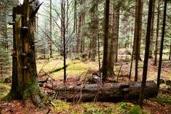 Łamany drzewo zakrywający z gąbką Zdjęcia Royalty Free