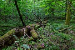 Łamany gigantyczny popiółu drzewa lying on the beach zdjęcie royalty free