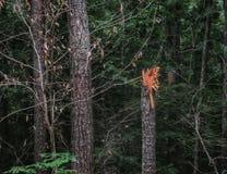 Łamany szalunku bagażnik w lesie zdjęcia stock