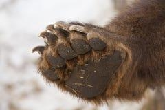 Łapa brown niedźwiedź zdjęcia stock