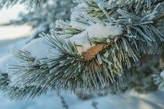 Łapa jadł mróz i śnieg z garbkiem obraz royalty free