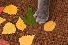 Łapa kota szary lying on the beach na jesień liści tkaninie zdjęcia royalty free