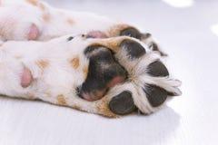 Łapa psi beagle zakończenie fotografia royalty free