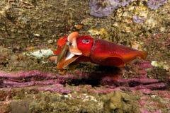 Łapiący cuttlefish Obraz Stock