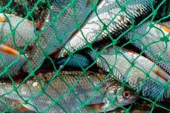 Łapie w sieci ryba, obfitość ryba jest w sieci Obrazy Royalty Free