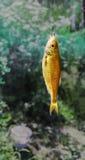 Łapie Złotej ryba na haczyku Zdjęcia Royalty Free