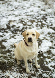 Łasi się Labrador Retriever z czerwonym kołnierza obsiadaniem na pierwszy śniegu Fotografia Stock