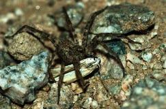 łasowania ćma pająka wilk Zdjęcia Stock