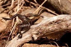łasowania żaby wąż Zdjęcia Stock