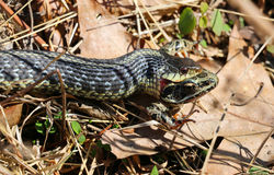 łasowania żaby wąż zdjęcie royalty free
