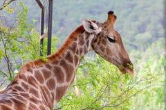 łasowania żyrafy zieleń opuszczać drzewa Zdjęcia Royalty Free