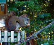 łasowania arachidu wiewiórka obrazy royalty free