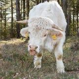 Łasowania Charolais krowa Zdjęcia Stock