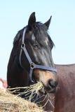 Łasowania czarny koński siano Zdjęcie Stock