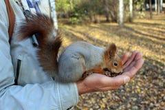 łasowania dokrętek wiewiórka Obrazy Royalty Free
